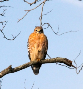 Red shoulder hawk in the morning