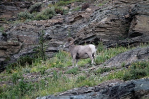 Big Horn Sheep just off the trail.