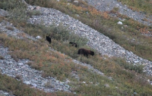 Bear and her cubs in Many Glacier Valley