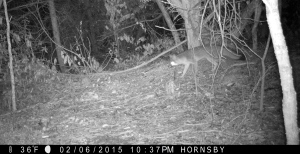 Grey Fox walking through the woods at night.