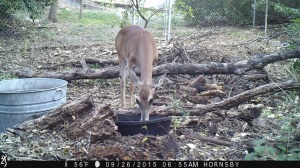 Doe in drought